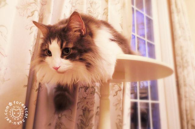 ミニテーブルの上から狙う猫