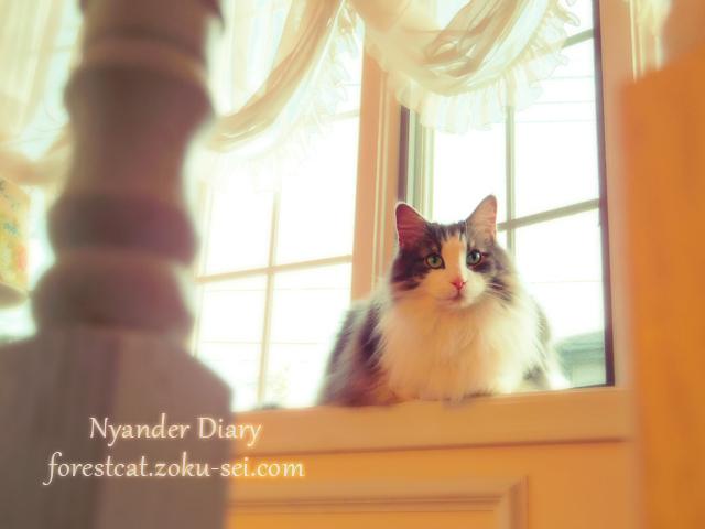 ふんわりとした写真の猫 ノルウェージャンフォレストキャット