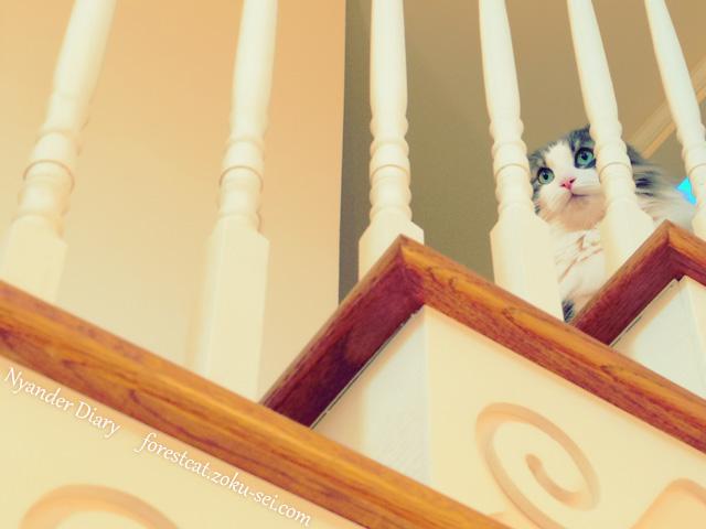 階段の柱の隙間から見える猫 ノルウェージャンフォレストキャット