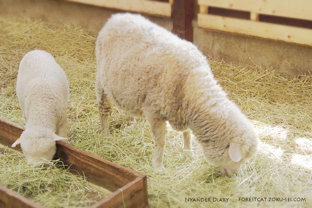 マザー牧場の親ヒツジと子ヒツジ