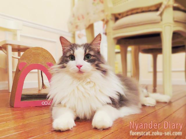 可愛い爪とぎと猫 ノルウェージャンフォレストキャット