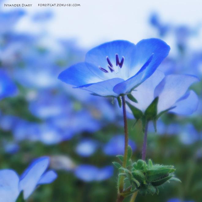 ブルーが綺麗なネモフィラの花
