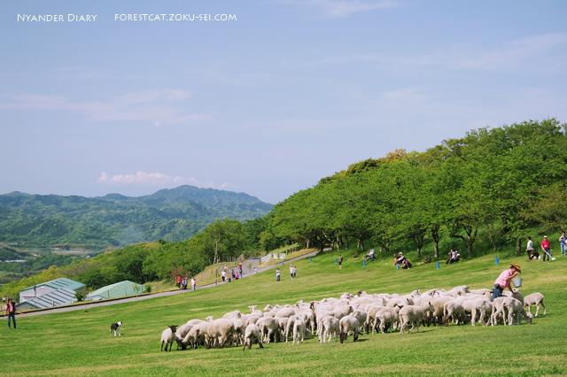 マザー牧場のヒツジの大放牧
