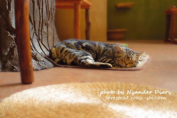 てまりのおうち アメショのかえでちゃん 眠る猫