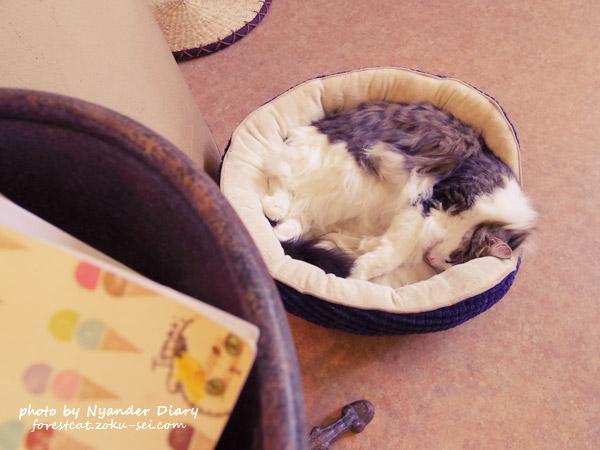 てまりのおうち 猫ベッドで眠る ノルウェージャンフォレストキャット