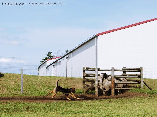 牧羊犬に追い込まれたヒツジ