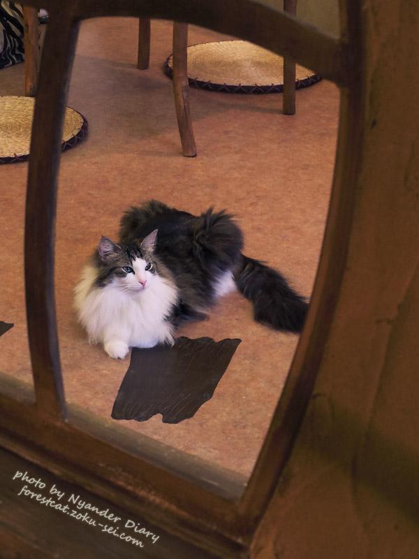 てまりのおうち 窓の外の猫 ノルウェージャンフォレストキャット
