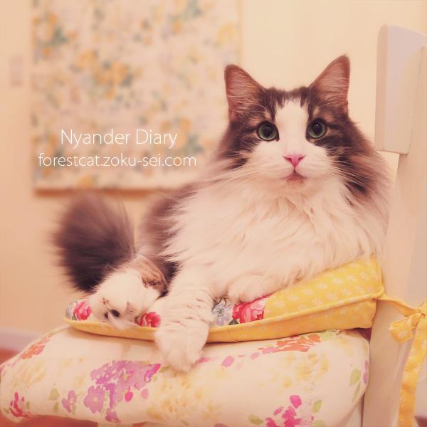可愛いクッションと猫 ノルウェージャンフォレスト