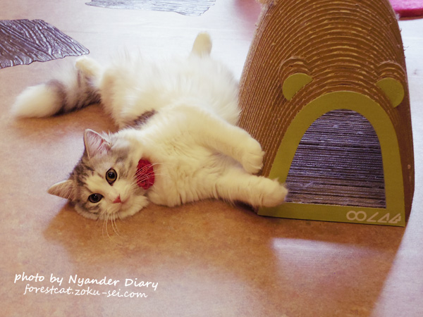 てまりのおうち 天使すぎる猫 ラガマフィンのシフォン