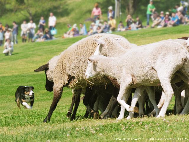 牧羊犬とヒツジ