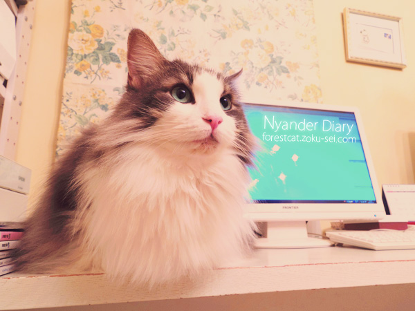 パソコン机に座る猫 ノルウェージャンフォレストキャット