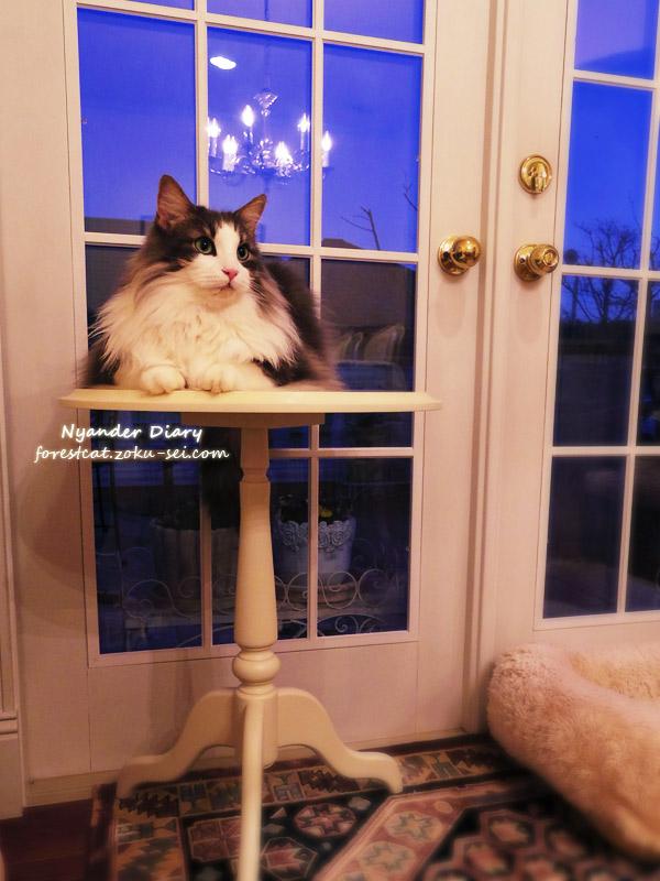 ローラアシュレイ ミニテーブルに乗る猫 ノルウェージャンフォレストキャット